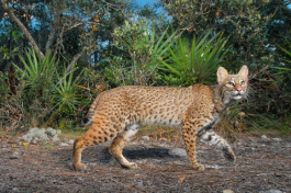 A bobcat stalks through the ancient scrub of Red Hill, a section of the Lake Wales Ridge at Archbold