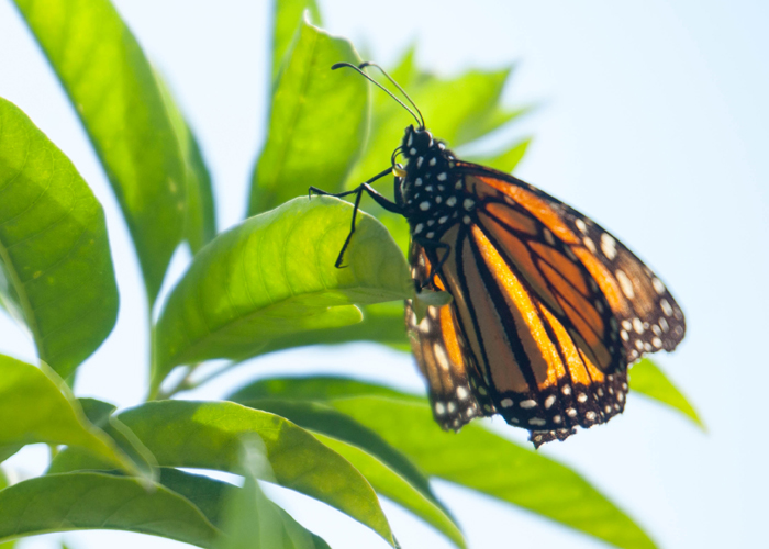 A monarch rests in the sun on golden centrum at USF's Botanical Gardens.