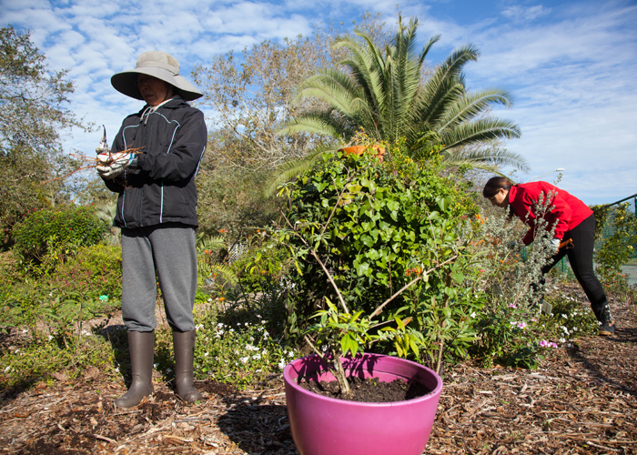 Kai Kai Chang, a caretaker at the butterfly gardens, and Joanne Meredith a volunteer, pull ivy amongst the milkweed, vital for monarchs.