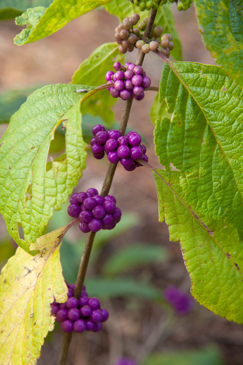Beautyberry grows in a fall bloom native plant garden at USF.