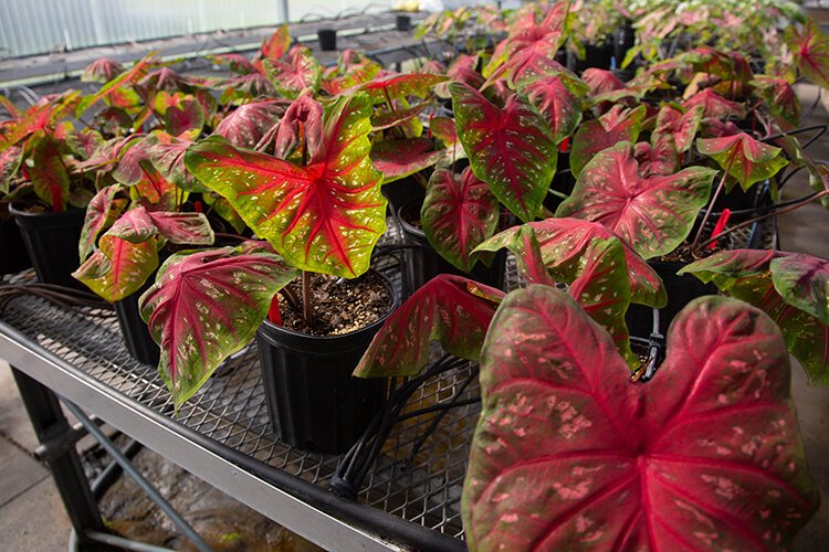 Caladium experiments are conducted at the University of Florida research site in Hillsborough County to benefit Florida's growers.