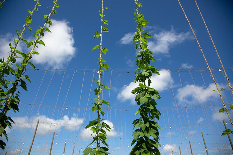 Hops grow on UF's 500-acre research campus in Wimauma, where special lights are used to make up for Florida's shorter days.