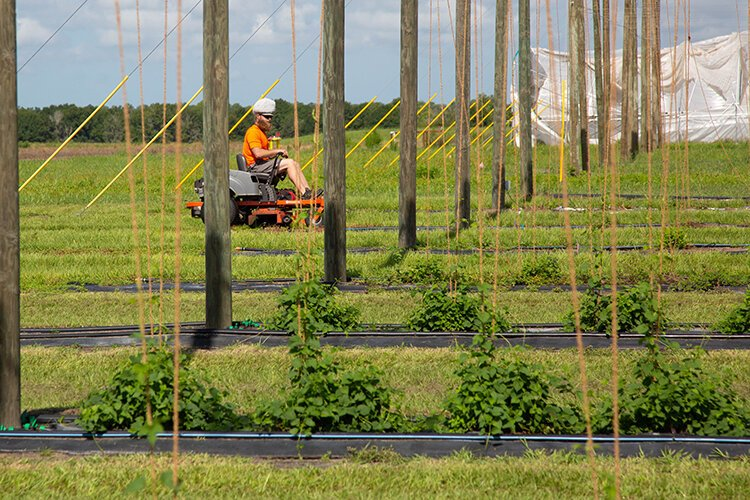 A technician mows the lawn at the hops site at the UF ag research center in southeast Hillsborough County.