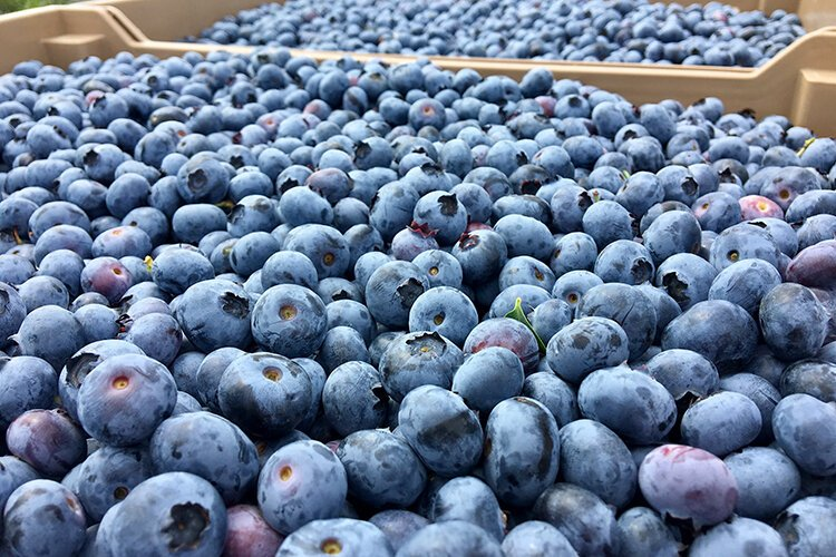 Blueberries at Wish Farms in Plant City.