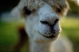A wet nose greets visitors to Golden Spirit Alpaca Ranch.