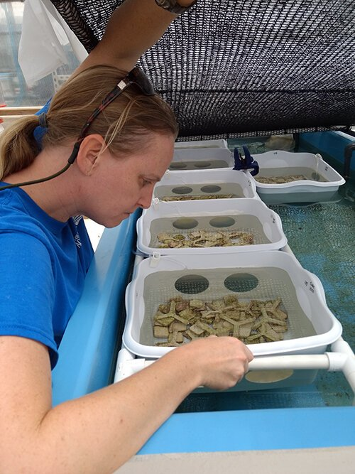 Keri O'Neil examines the tiny, barely visible, newly-spawned coral polyps.