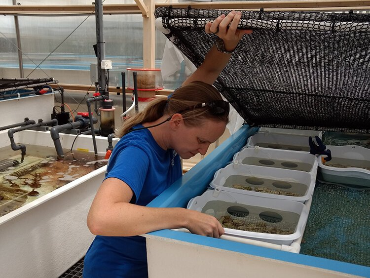 Keri O'Neil, a senior coral scientist with the Florida Aquarium, examines ceramic plates on which newly-spawned coral polyps have implanted.