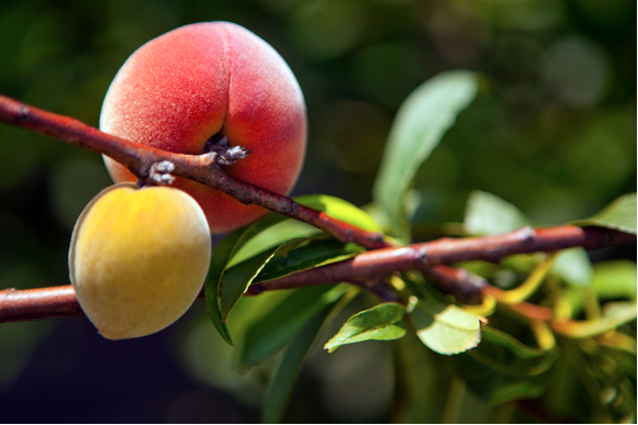 Florida peaches. - Julie Branaman