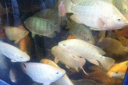 Green Acre Aquaponics fish.