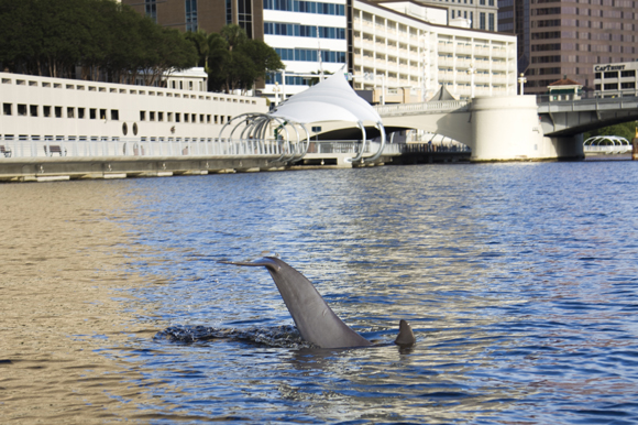 A dolphin is seen slapping its tail from the boat near Curtis Hixon Park.