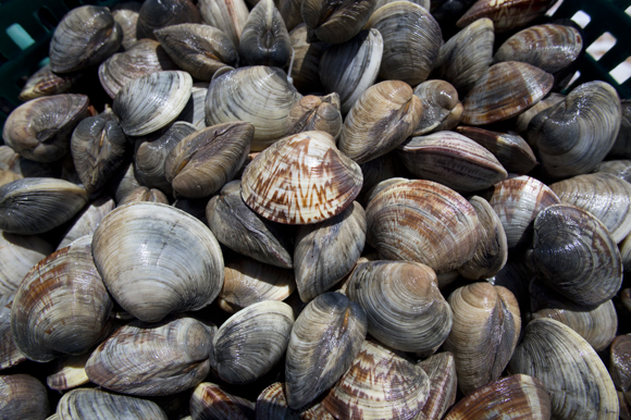 Freshly harvested clams.