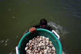Zach Hunter takes a bucket of clams underwater after harvesting. The clams will sit on the bottom for two days to further filter themselves.