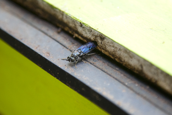 Adult soldier fly.