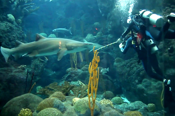 Diving at the Florida Aquarium is available to volunteers