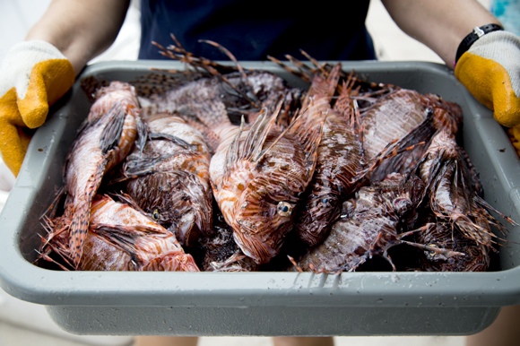 A small portion of the lionfish bounty is prepared for processing.