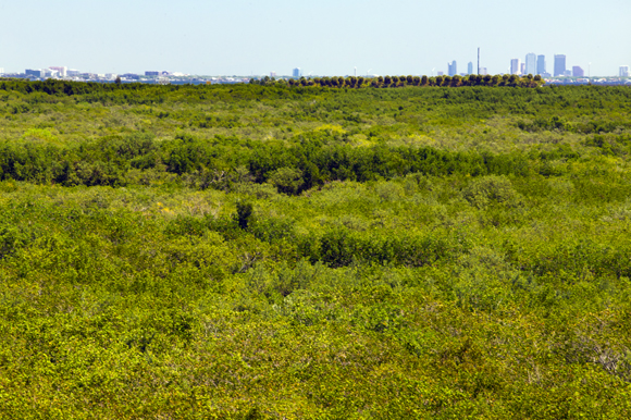 The mangroves of Feather Sound hug Tampa Bay.