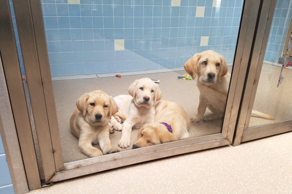 Yellow Labrador litter-mates wait patiently in the Puppy Academy for their next training session.