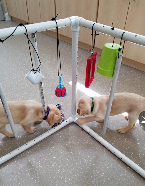 "Yellow Lab puppies attend ""puppy kindergarten"" before they can become service or guide dogs."