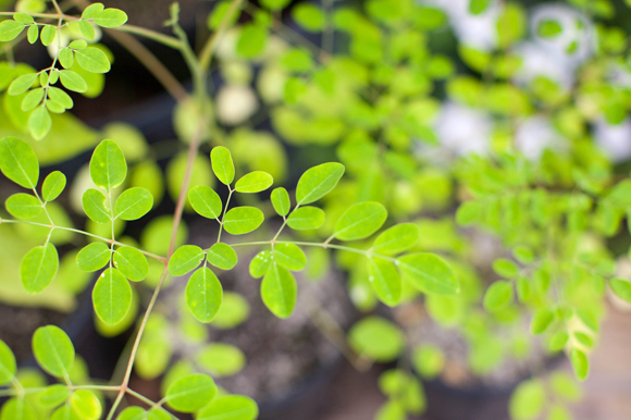 Natural gas created by the moringa tree is being studied by Ken Black in collaboration with USF.