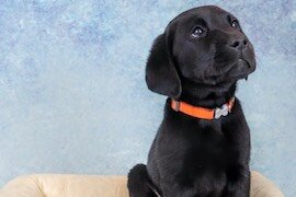 Hunter, a 7-week-old dog, to be trained by Valor Service Dogs.