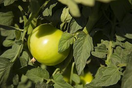 UF researchers are studying how best to grow healthy tomatoes in Florida.