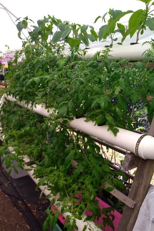 Diane Stanton is growing her garden using hydroponic techniques.
