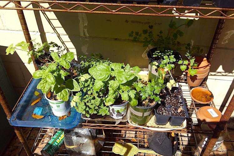Florida gardeners finds herbs really easy to grow.