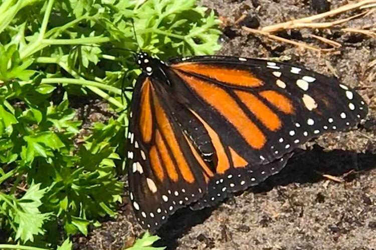 A monarch butterfly goes about its business pollinating plants.