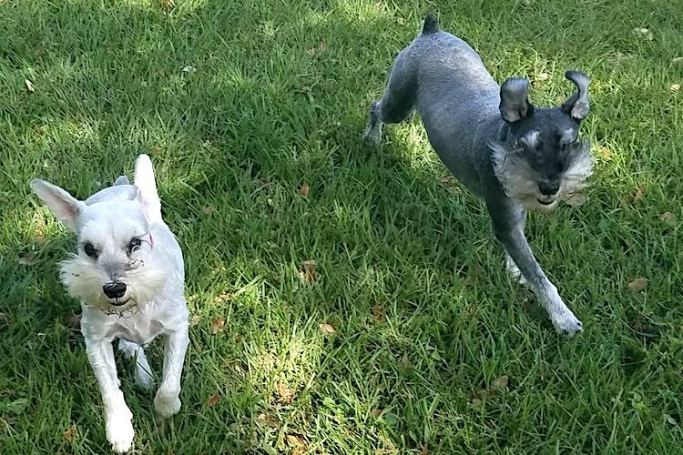 Schnauzer siblings Diego and Frida love to frolic at Hair of the Dog in Seminole Heights.